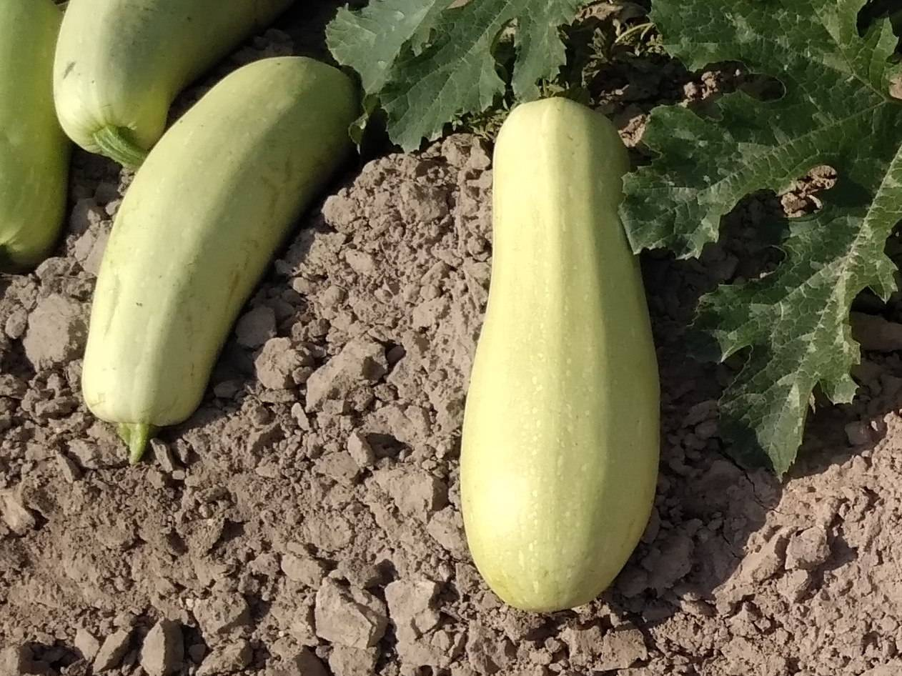 Описание сорта кабачка арал f1 — как поднять урожайность