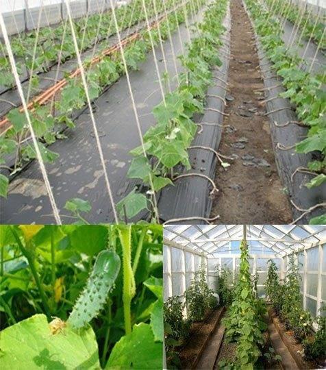 Как провести формирование огурцов в теплице – часть первая – что делать, чтобы получить богатый урожай?