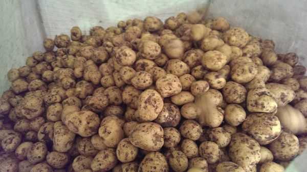 Картофель гала: описание, особенности выращивания и хранения сорта