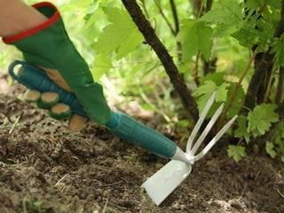 Весна: уход за смородиной. обрезка, полив, размножение черенками. как правильно ухаживать за смородиной