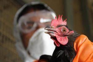 Что такое сальпингит у домашней птицы и почему возникает воспаление яйцевода у несушек?