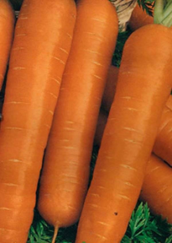 Какие сорта моркови выращивать в сибири?