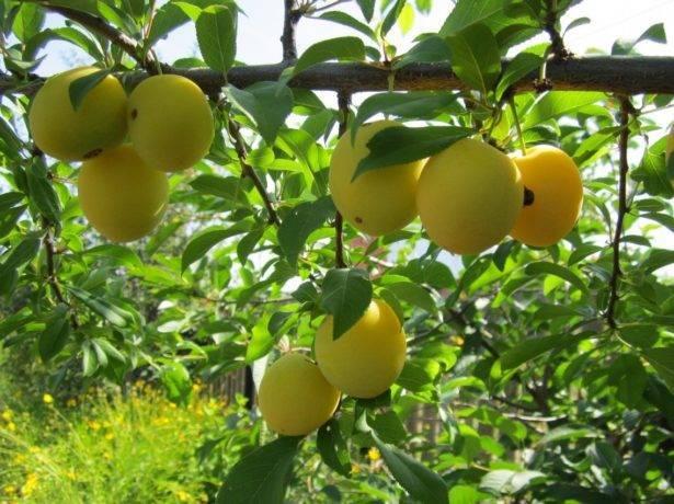 Алыча царская – красивый урожай в вашем саду