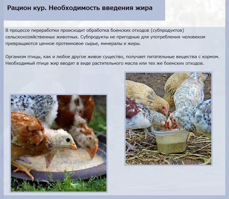 Куры клюют свои яйца — в чем проблема и что делать