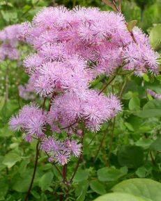 Посадка и уход за василистником многолетним, описание сортов и фотографии растения, способы размножения цветка
