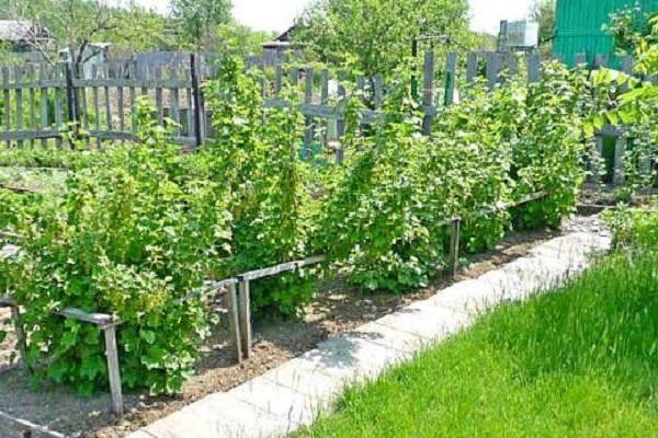 Не знаете, где посадить смородину? поможем выбрать лучшие места на вашем участке