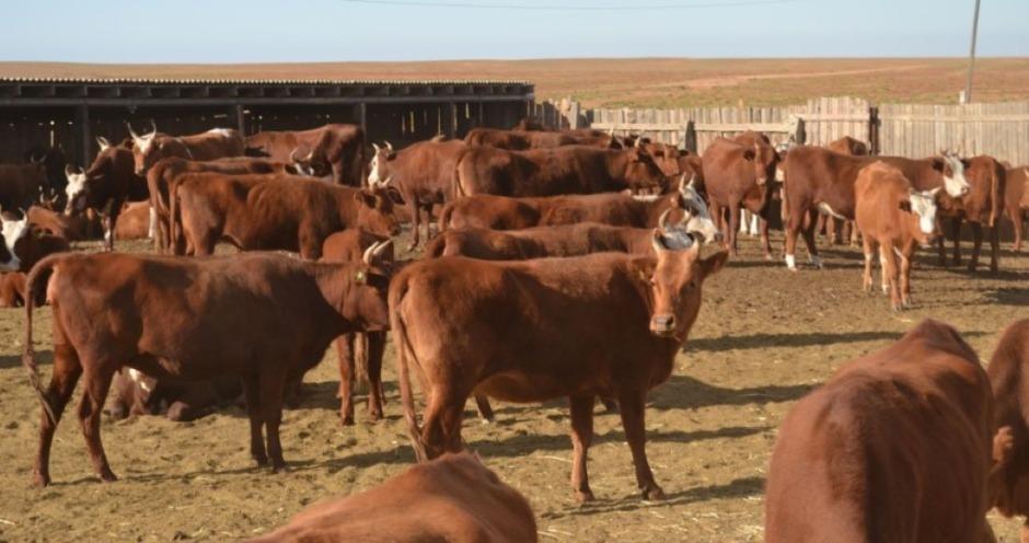 Порода коров красная степная: описание, правила ухода и кормления