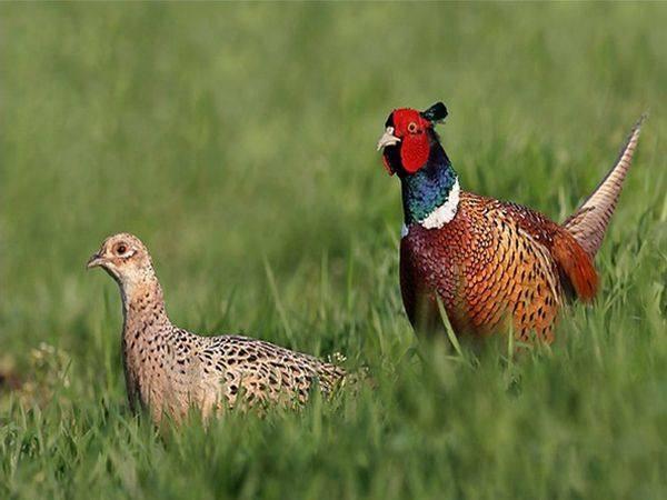 Как правильно ставить петли на фазана