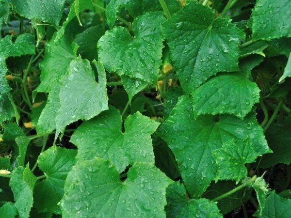 Обработка огурцов с кефиром и йодом рецепт татьяны огородницы