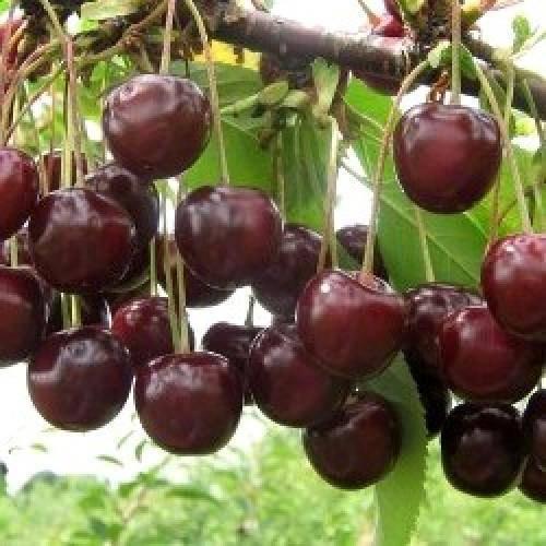 Косточковые: описание вишни чернокорки
