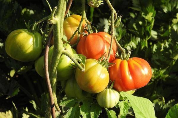 Сорт томата «алпатьева 905 а»: описание, характеристика, посев на рассаду, подкормка, урожайность, фото, видео и самые распространенные болезни томатов
