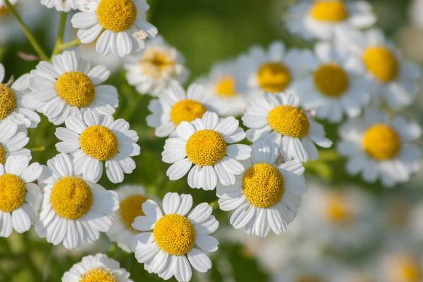 Девичья ромашка — неприхотливый цветущий многолетник, который выращивали в монастырских садах