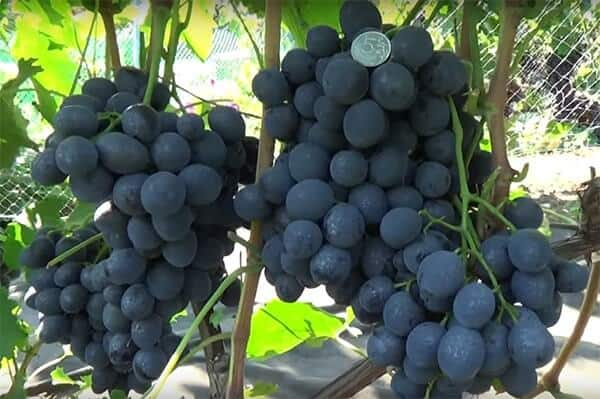 Описание винограда сорта сфинкс: характеристики и выращивание