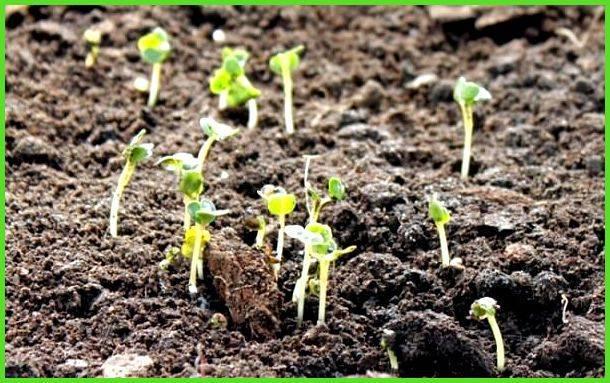 Сколько растет редиска в теплице: через какое время всходят семена разных сортов корнеплода, много ли дней им требуется для созревания и каковы сроки сбора урожая?