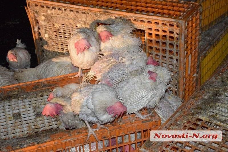 Содержание кур в домашних условиях для начинающих: уход за птицами летом и зимой, и их разведение
