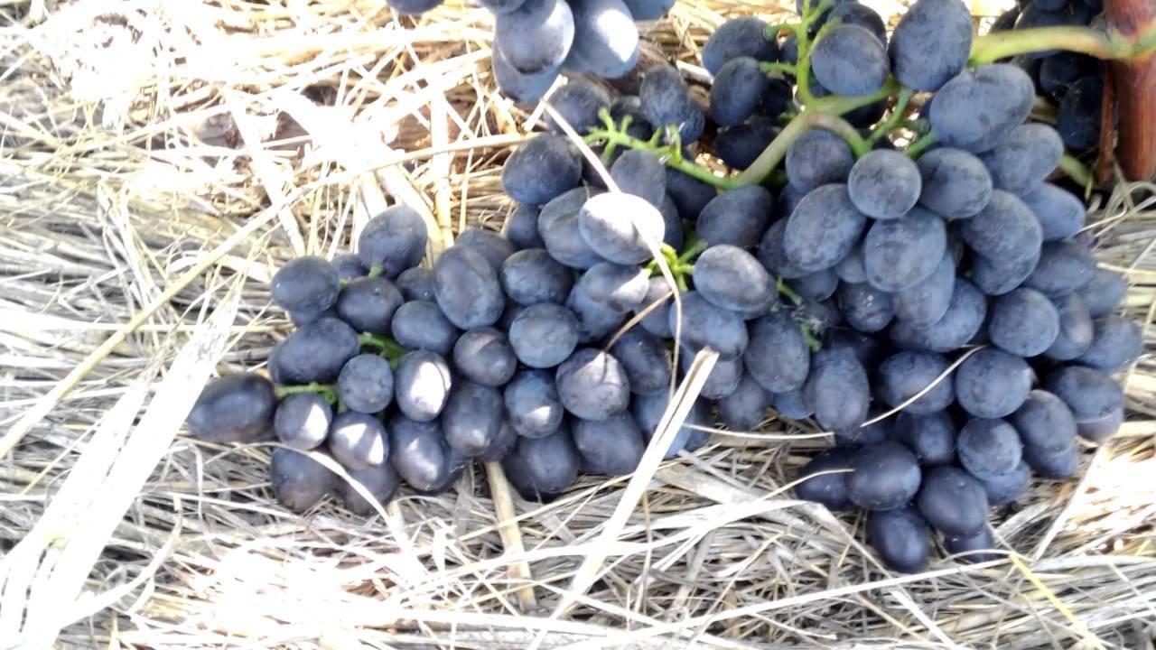 Гибридный виноград «чарли»