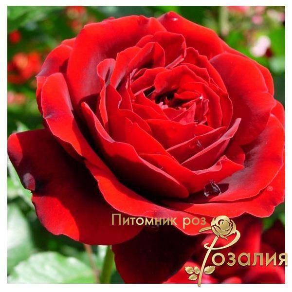 Роза амалия. роза амалия описание сорта «амелия»