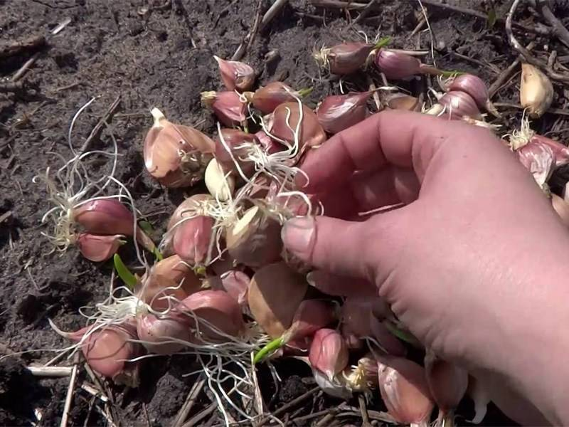 Посев ярового чеснока весной зубками и бульбочками: сроки и правила посадки