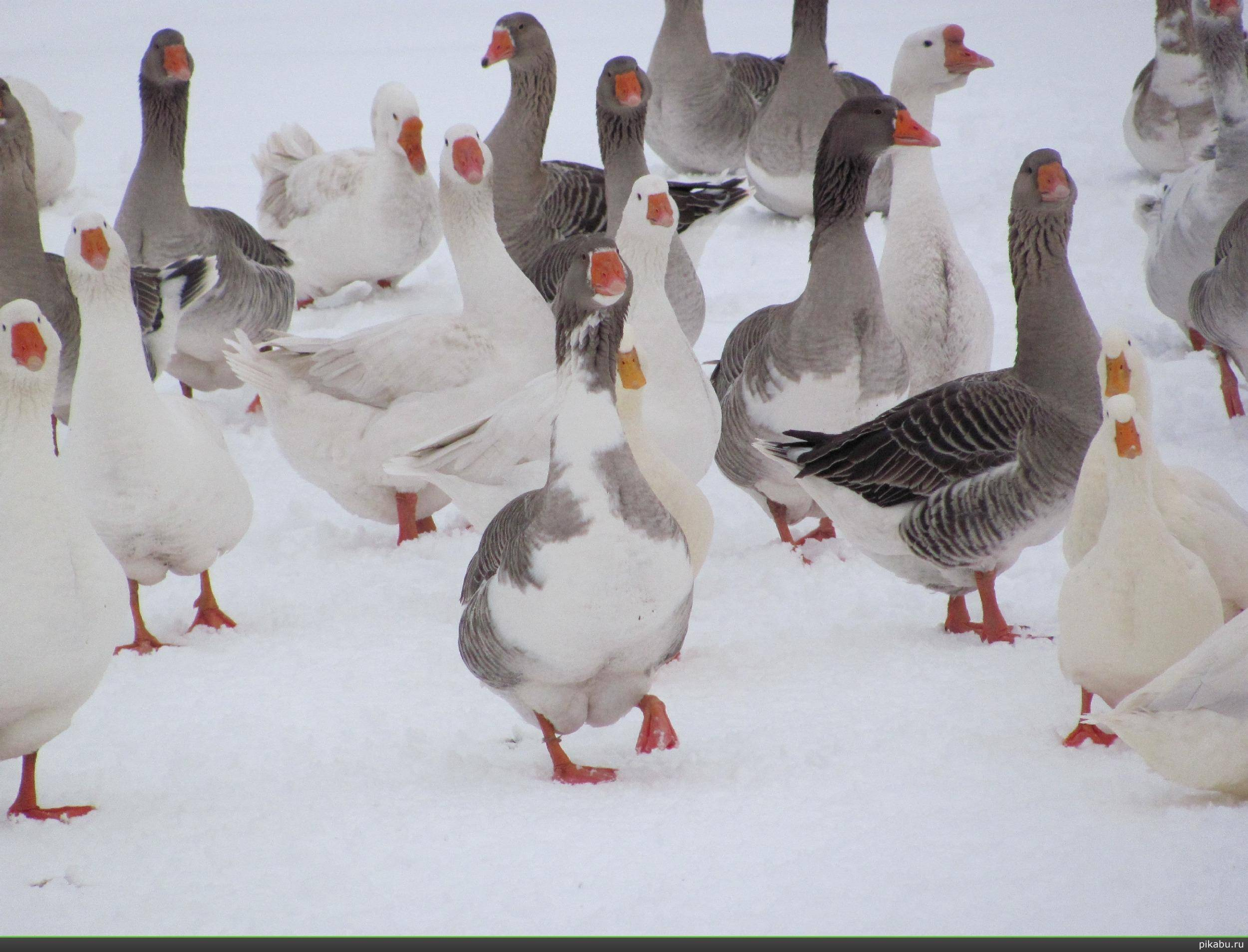 Рекомендации по откорму гусей на мясо в домашних условиях