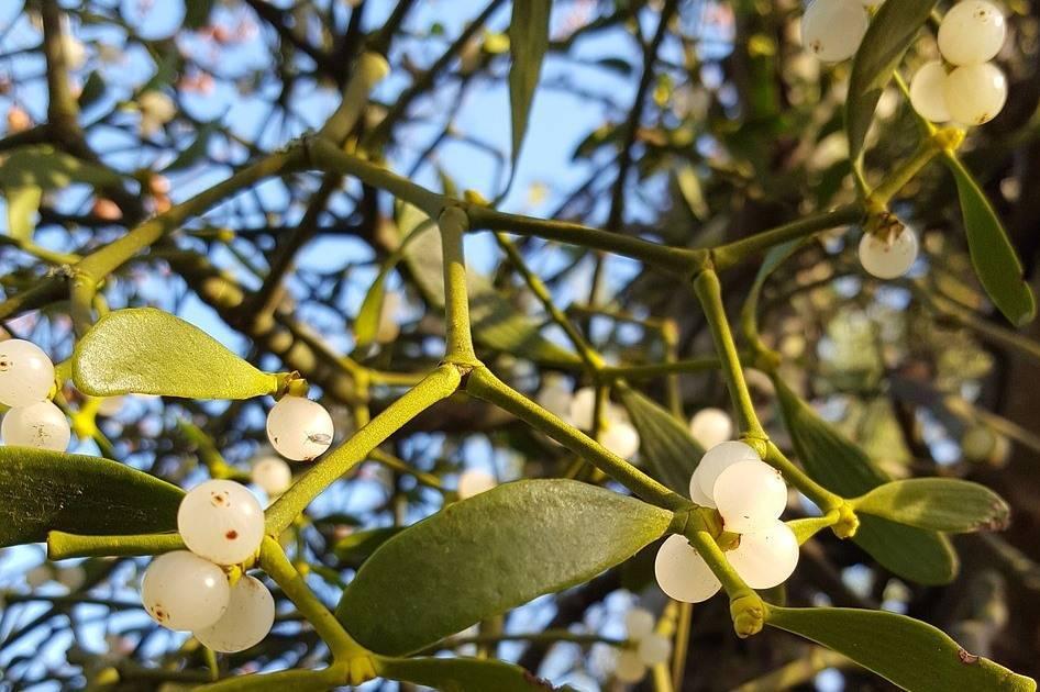 Омела белая: лечебные свойства, применение, рецепты, противопоказания