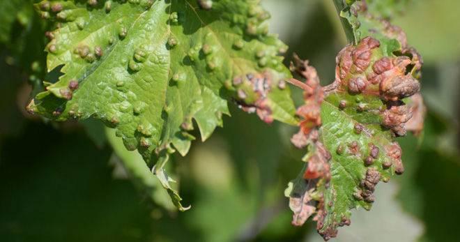 Что такое бактериальный рак винограда, отчего возникает болезнь и как её лечить?