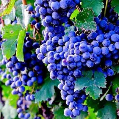 Зачем нужна обрезка винограда летом и как её делают?