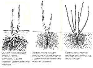 Как пересадить куст черной смородины