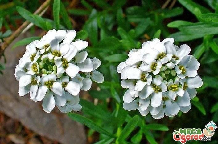 Агротехника ибериса многолетнего в открытом грунте: посадка семян, цветение