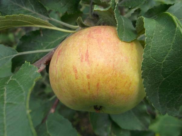Особенности выращивания колоновидной яблони сорта медок