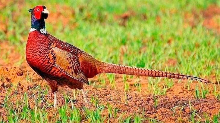 Чем кормить фазанов в домашних условиях? рацион фазанов