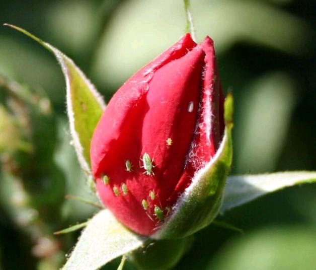 Вредители роз и борьба с ними —  как избавиться