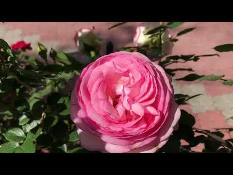 Уход за розами весной: простой чек-лист из 6 пунктов, которые нужно выполнить после зимы