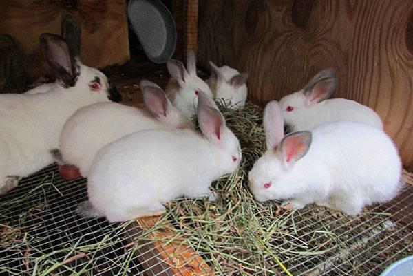Кролики в домашних условиях — разведение, содержание и выращивание кроликов от а до я. 125 фото и видео домашних пород и обустройства хозяйства