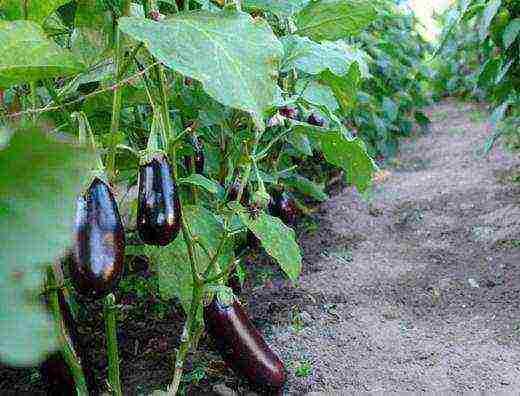 О выращивании баклажанов и уходе за культурой в теплице: как правильно сажать