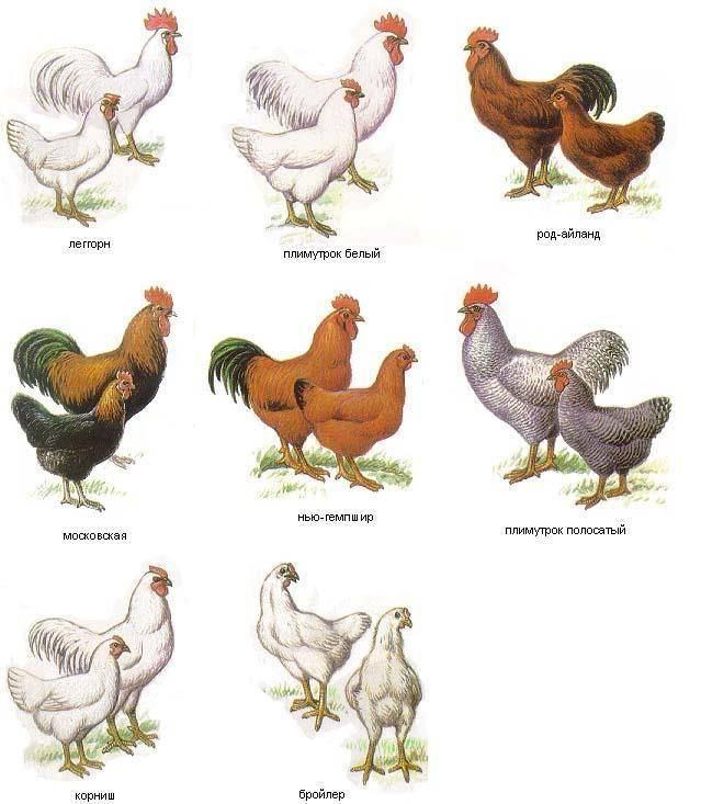 Брама куропатчатая: фото и описание породы кур, содержание и выращивание цыплят и петухов, особенности и характеристики птиц