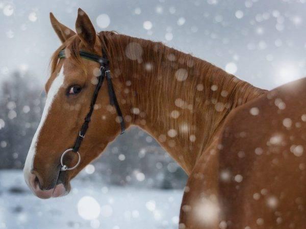 Русская верховая порода лошадей: описание и уход