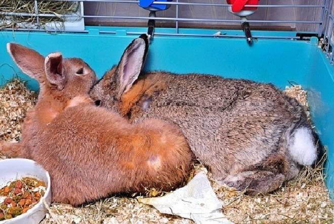 Случка кроликов, правила и особенности их спаривания