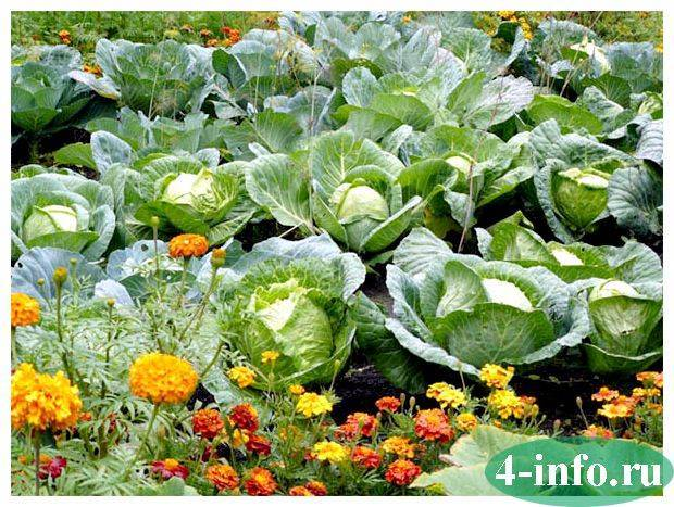 Какие растения посадить с капустой для защиты от вредителей
