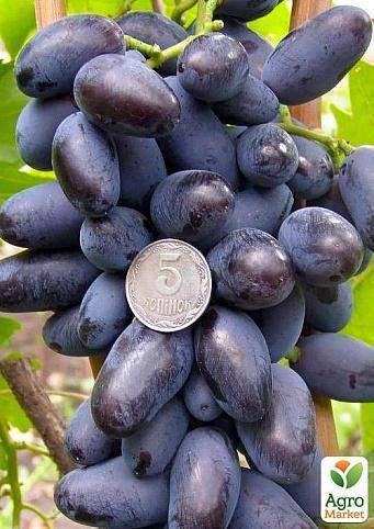Виноград «байконур»: описание сорта, фото и отзывы