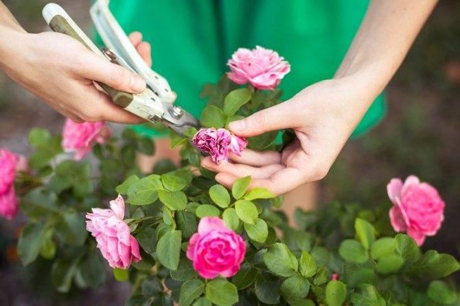 Уход за розами летом: что и когда делать