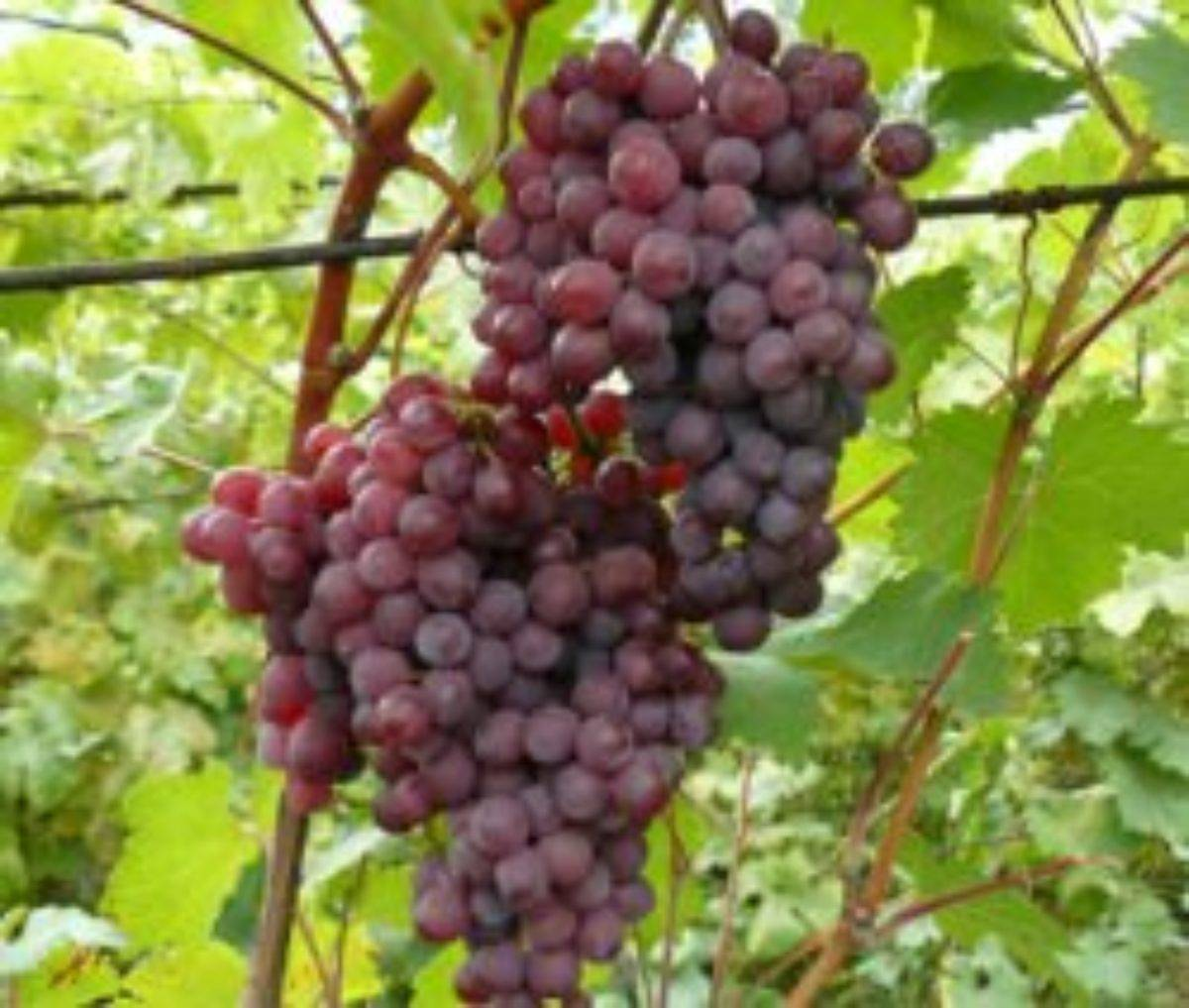 Описание сорта винограда Русский Ранний, особенности, преимущества и недостатки