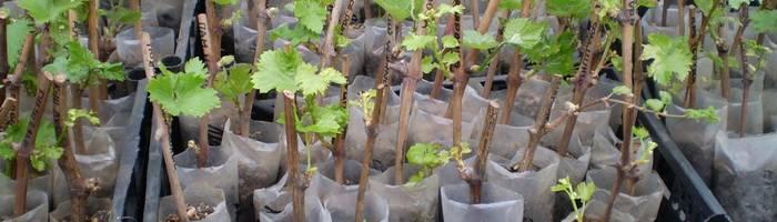 Правила укоренения черенков винограда