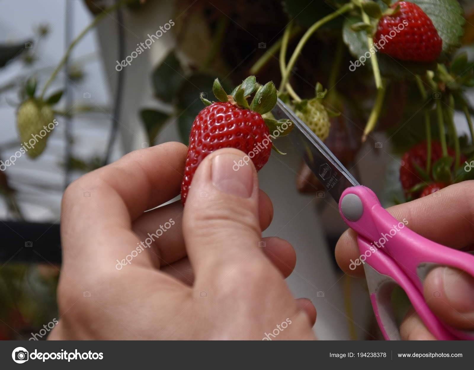 Выращивание клубники - пять советов как получить хороший урожай