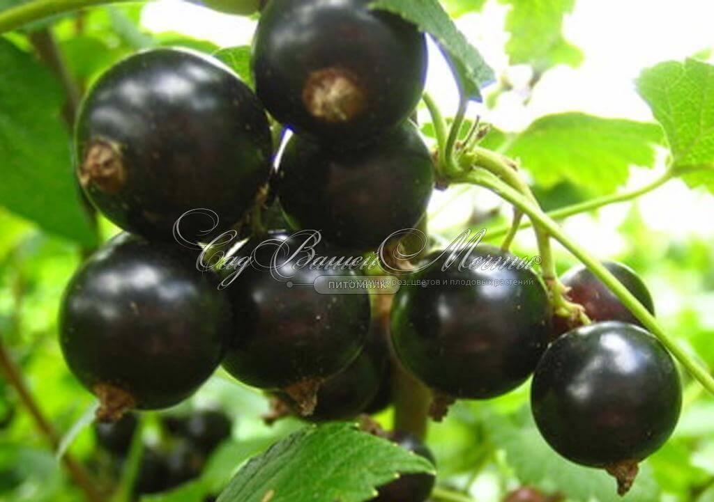 Смородина черная Вологда: описание сорта, уход и выращивание
