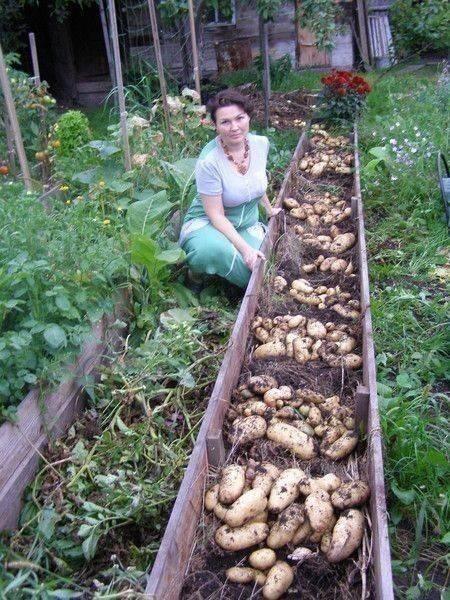 Ранний картофель от а до я: подготовка клубней, посадка, уход