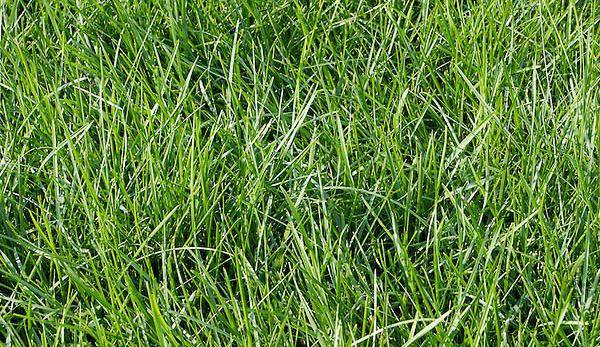 Описание, норма высева, посадка и уход за газонной травой полевицей побегоносной