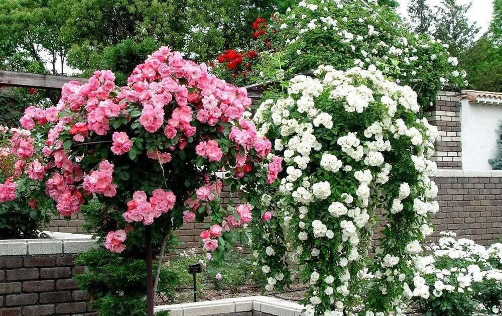 Как правильно размножать черенками плетистую розу