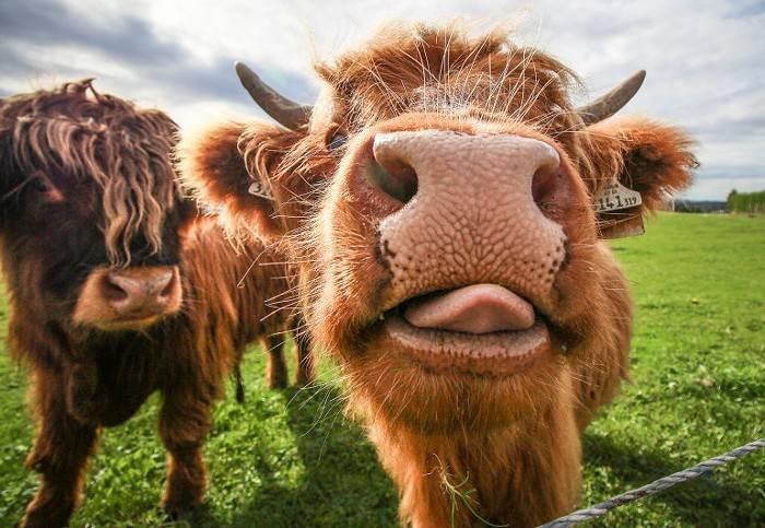 Миниатюрные коровы – мода или необходимость
