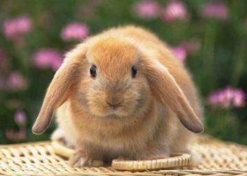 Кролики французский баран: отзывы, разведение, уход, особенности породы, правила кормления и описание с фото - общая информация - 2020