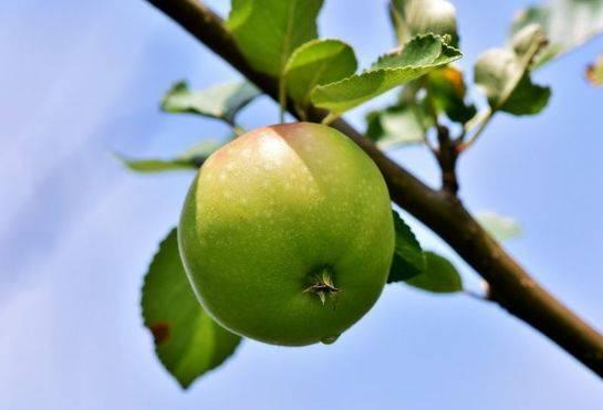 Яблоня медленно растет что делать. почему на участке не растет яблоня в высоту после посадки и что делать
